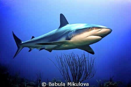 Shark by Babula Mikulova