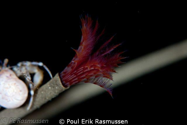 Hydroides norvegia. Sigma 105 mm, 1/250 sek, f/9 by Poul Erik Rasmussen