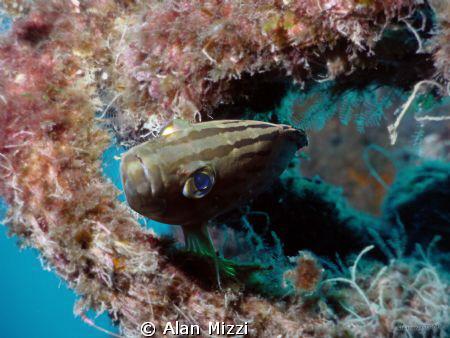 Mottled Grouper by Alan Mizzi
