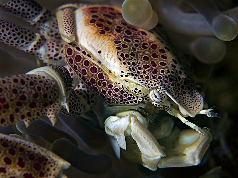 """Porcelain Crab"" by Henry Jager"