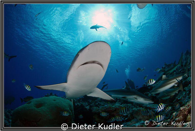 Shark on Yap Island by Dieter Kudler