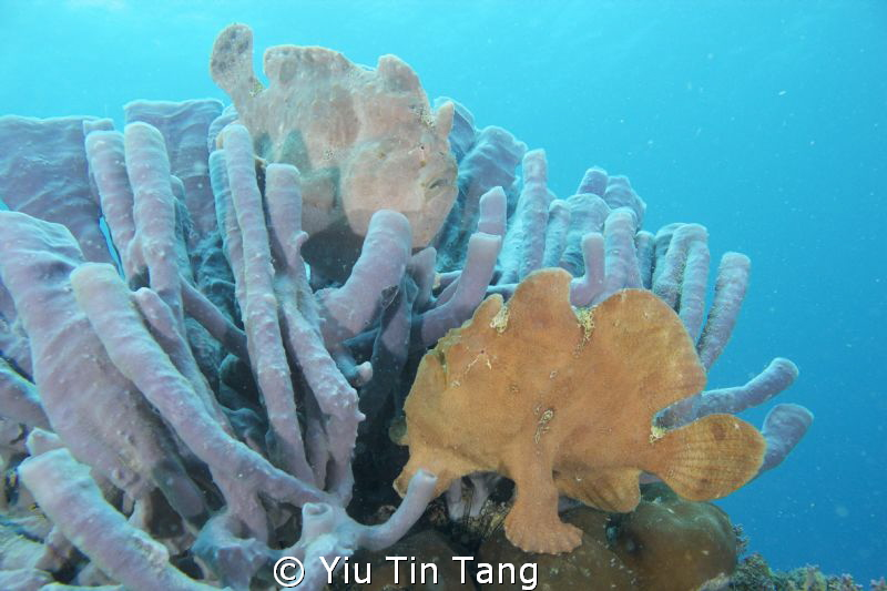 Two Frog Fish on Sponges by Yiu Tin Tang