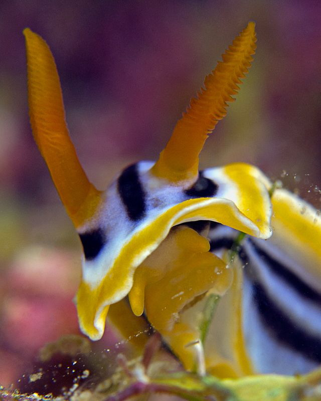 """""""Nudibranch Portrait""""    by Henry Jager"""