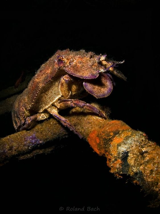 Slipper lobster in the wreck of the Ocean Diver. Difficul... by Roland Bach