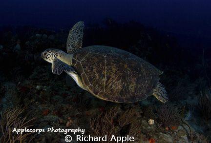 Green Turtle in flight - Juno Beach, FL by Richard Apple