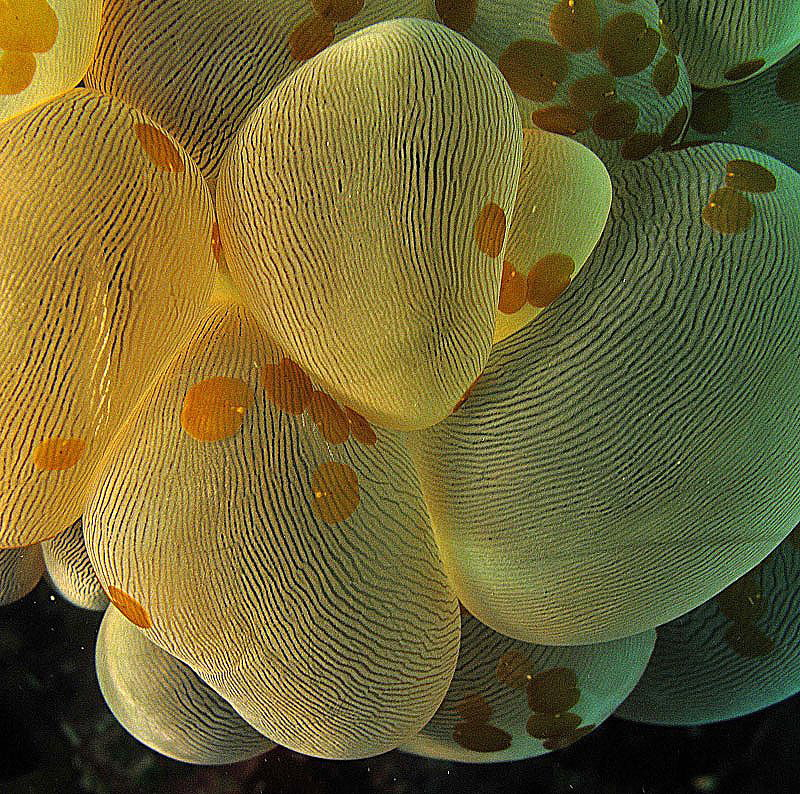 Bubble coral with lice?
