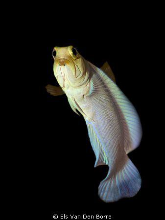 Yellow-headed jawfish swimming around. by Els Van Den Borre