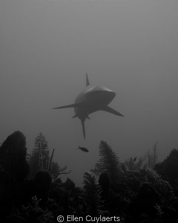 Hi Shark coming from the depths towards the reef EPL+2 ... by Ellen Cuylaerts