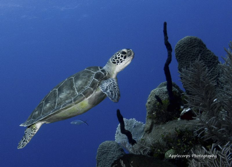 Cayman Green Turtle Cruising Along The Wall. by Richard Apple