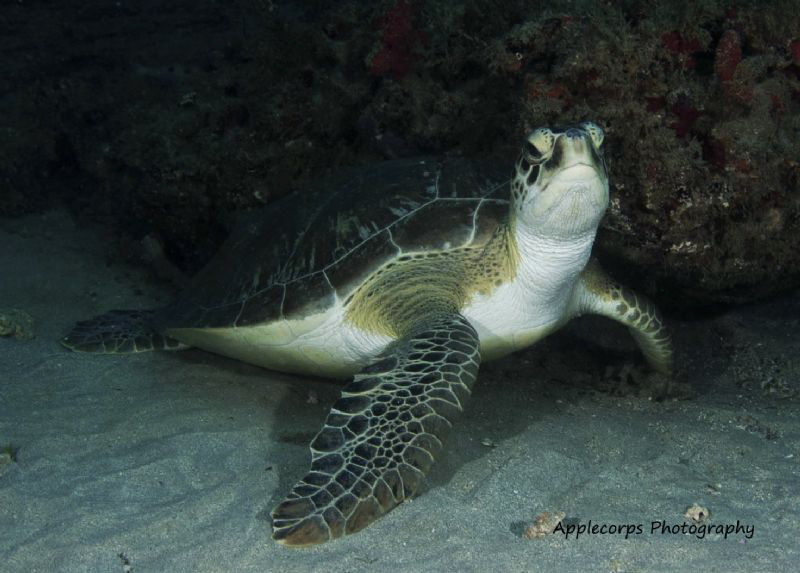 """""""Green Turtle Attitude"""" at 75 Ft along the Juno Beach, FL... by Richard Apple"""