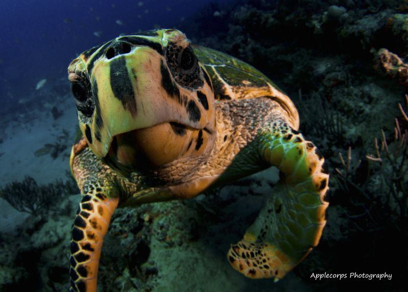 """Hawksbill Turtle Checking It's """"Facial Reflection"""" in the... by Richard Apple"""