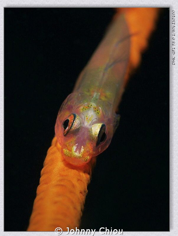 Goby fish by Johnny Chiou
