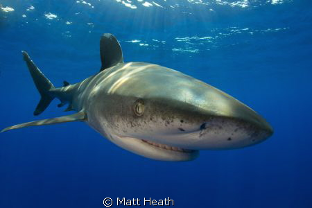 Oceanic Whitetip by Matt Heath