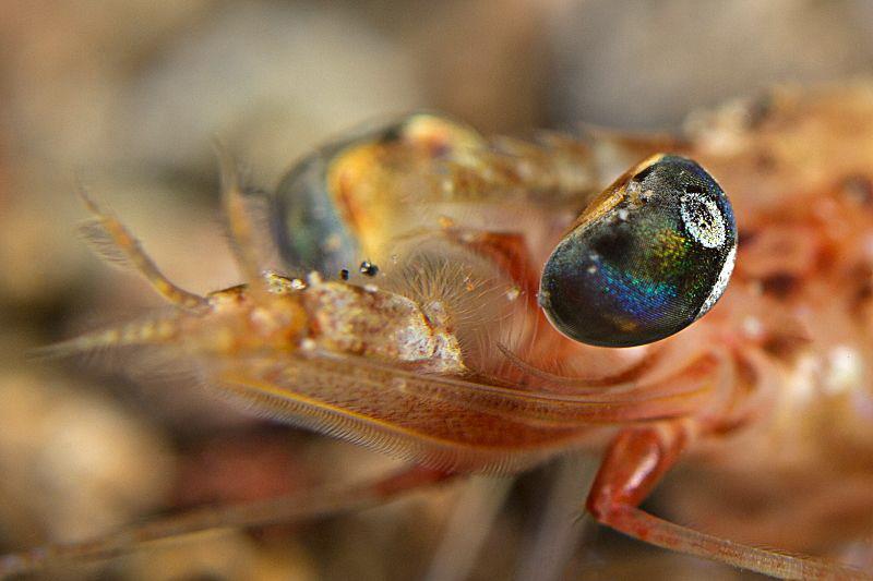 """""""Shrimp Portrait""""  by Henry Jager"""