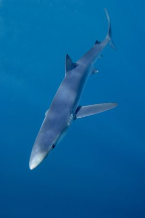 Blue Shark, taken off the cost of South Africa. Canon EOS... by Simon Trickett