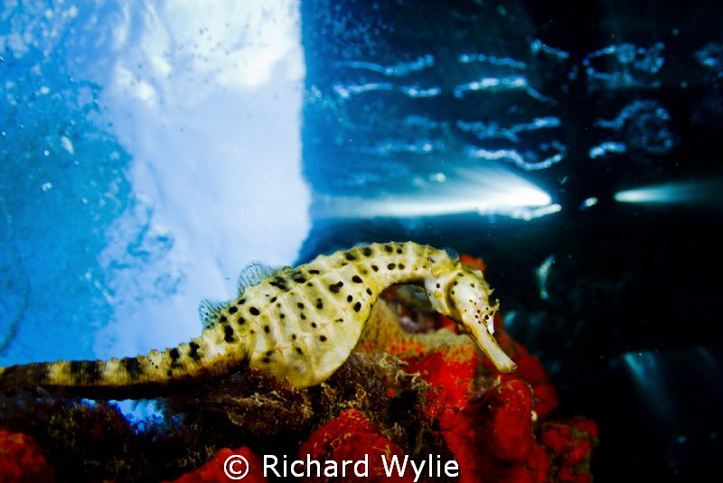 Pot Bellied seahorses are unlike other seahorses as they ... by Richard Wylie