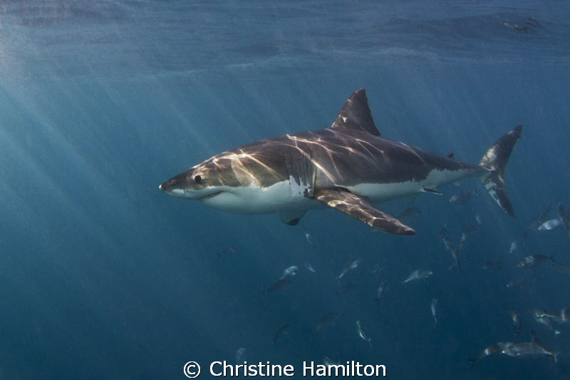 Great White in the Sunlight by Christine Hamilton
