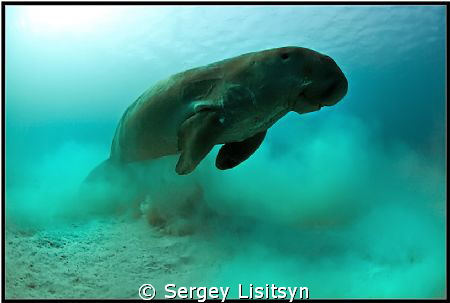 Sea cow. by Sergey Lisitsyn