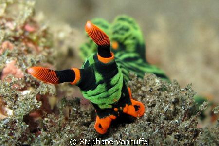 Nembrotha Kubaryana from Amed East-Bali