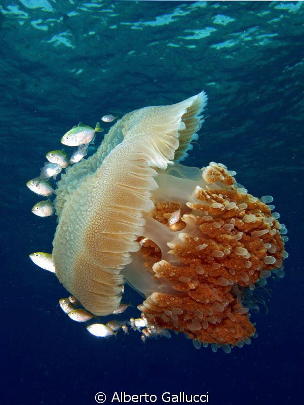 Indopacific jellyfish in Pemuteran, Bali by Alberto Gallucci