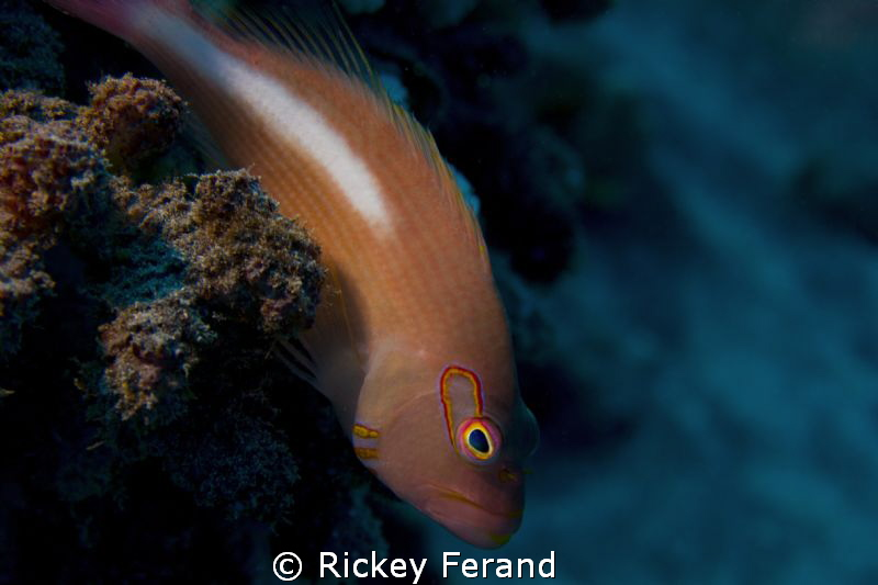 Close-up on a hawkfish with my new Canon T2i/Sea&Sea hous... by Rickey Ferand