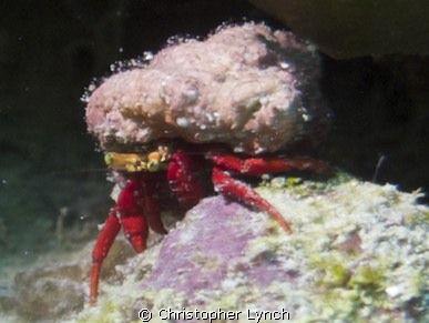 hermit crab by Christopher Lynch