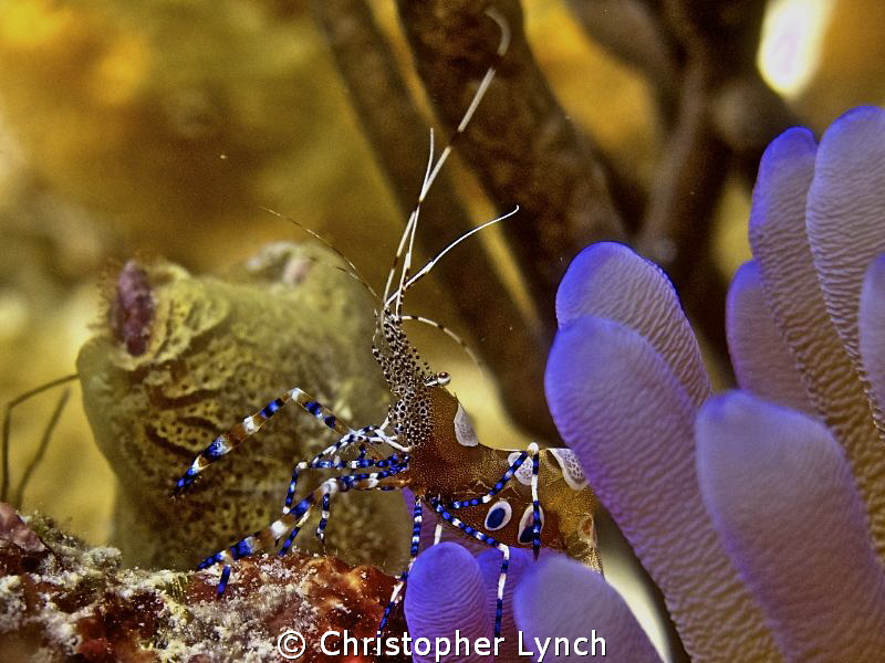cleaner on anemone...no flash 25' on Klien bonaire by Christopher Lynch