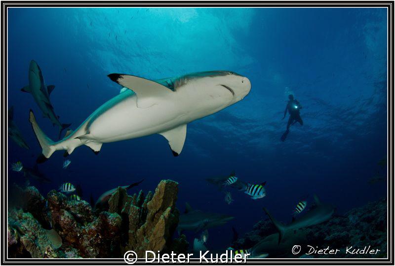 Shark & Diver, Vertigo, Yap Island by Dieter Kudler