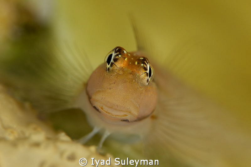 Blenny Closeup. One first result of the underwaterphotogr... by Iyad Suleyman