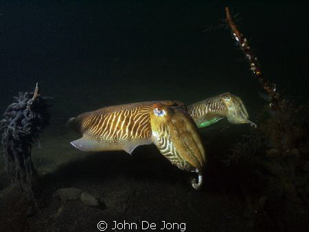 The beginning of the mating season of our Sepia's some we... by John De Jong
