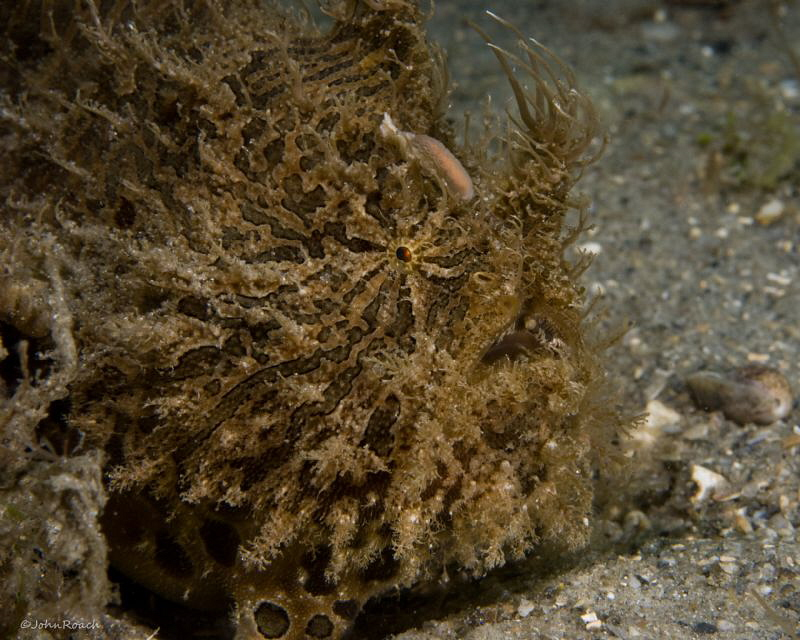 Striated Frogfish, Lembeh South Florida.