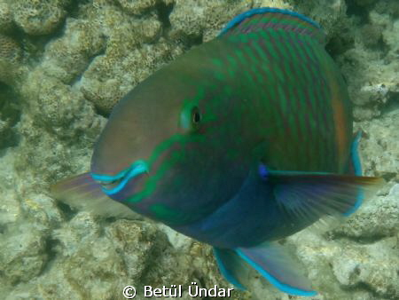 smiling parrotfish @ el fanar
