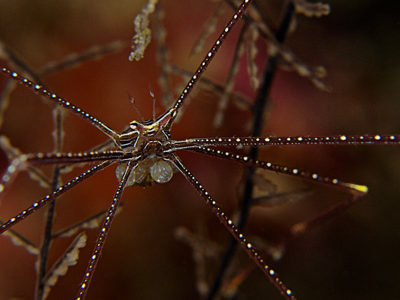 """Spider Crab with Eggs"" by Henry Jager"
