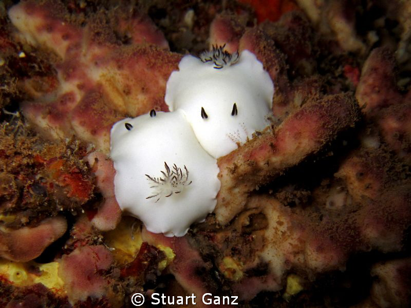 A pair of Fellows nudibranchia. by Stuart Ganz
