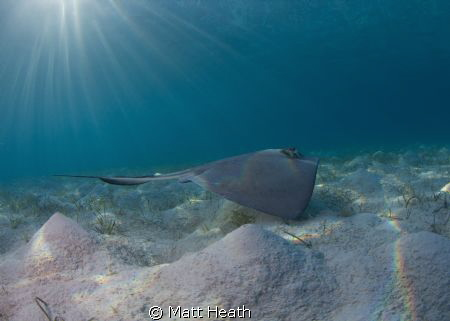 I was lucky to have the most playful Southern Stingray I ... by Matt Heath