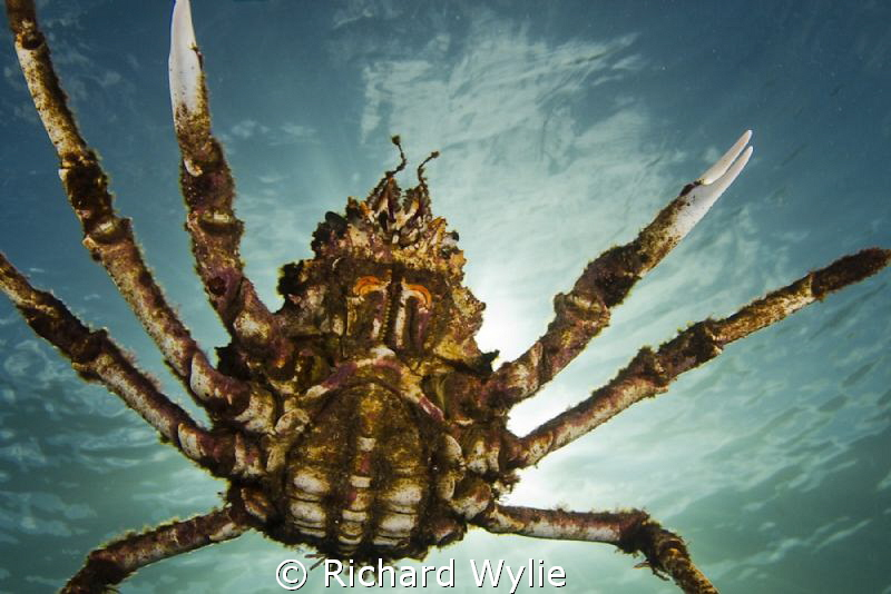 """Crabzilla"""" Spider crab aggregations are here in Port Phil... by Richard Wylie"""