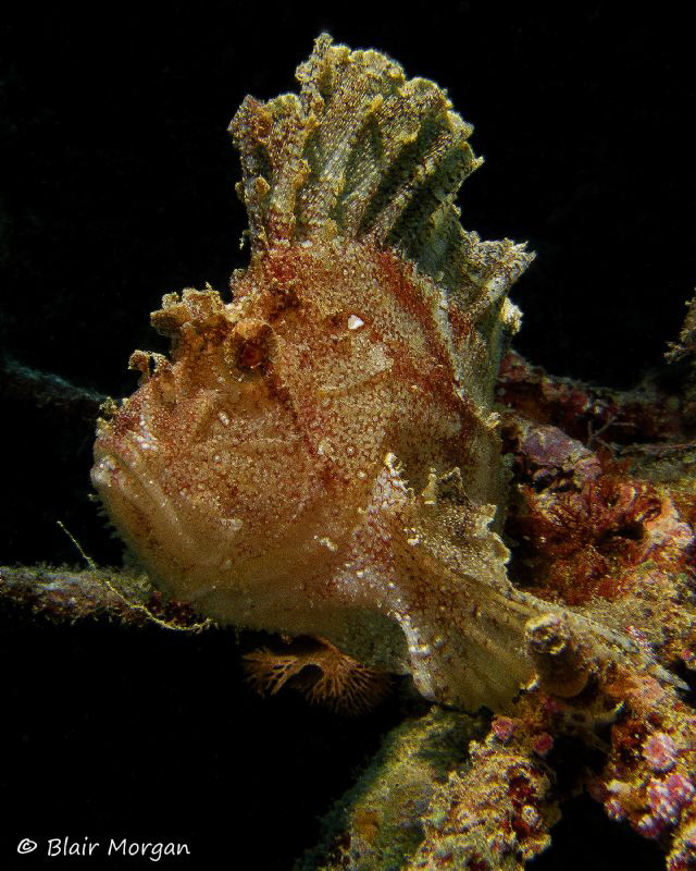Leaf Scorpionfish, Shark Reef, Beqa Lagoon, Fiji Islands by Blair Morgan 