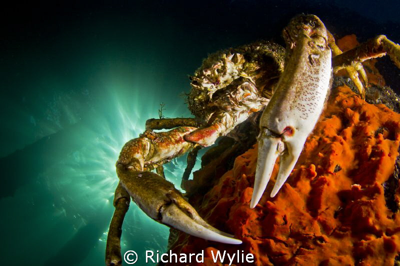 Spider Crab on the Pier. by Richard Wylie