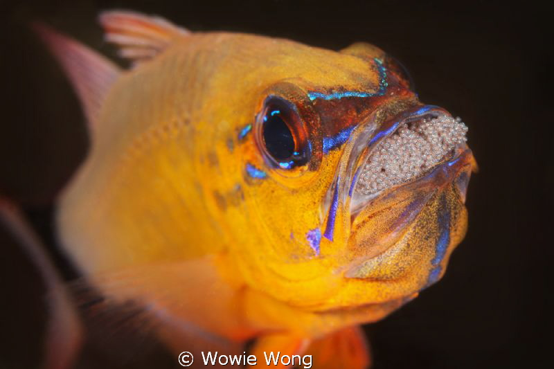 Cardinal Fish with Eggs by Wowie Wong