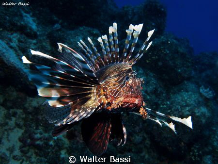 Pterois miles by Walter Bassi