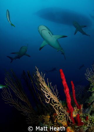 Reef Sharks on a reef in the Bahamas by Matt Heath