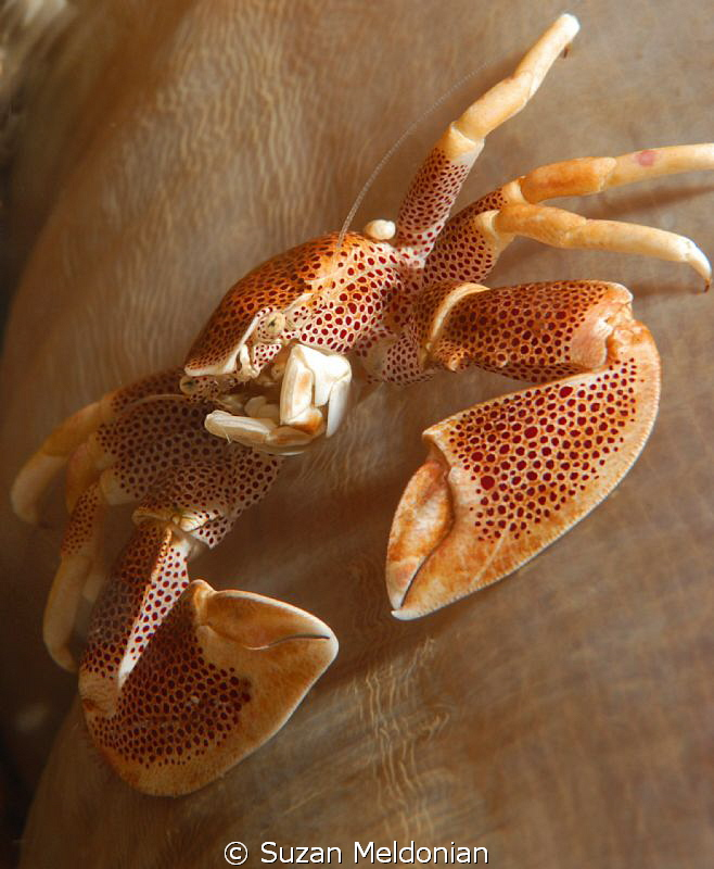 Porcelain Crab staring me down by Suzan Meldonian 