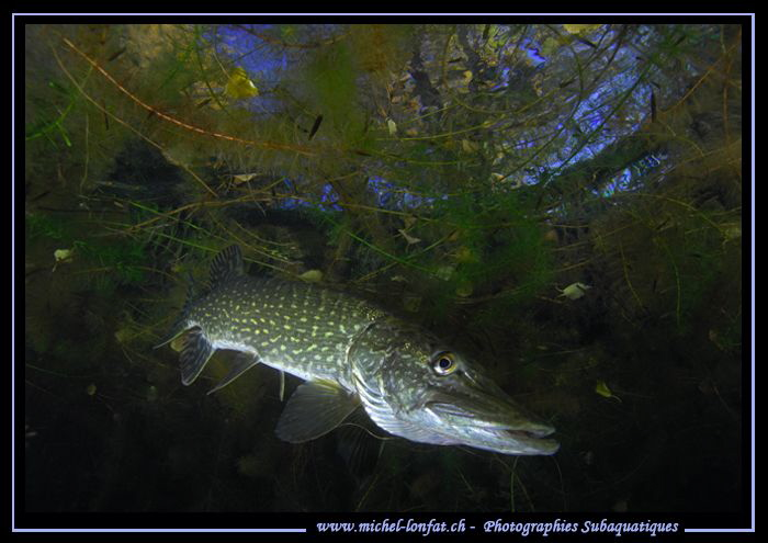 Mister Pike Fish... :O)... by Michel Lonfat