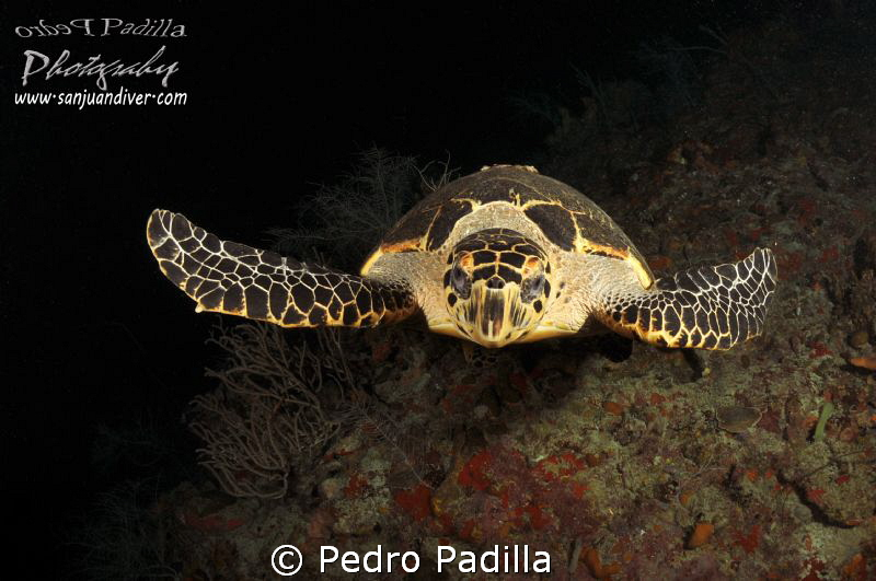 Flying Hawksbill turttle by Pedro Padilla