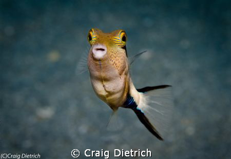 Little Angel/ See these little guys on almost every dive ... by Craig Dietrich 