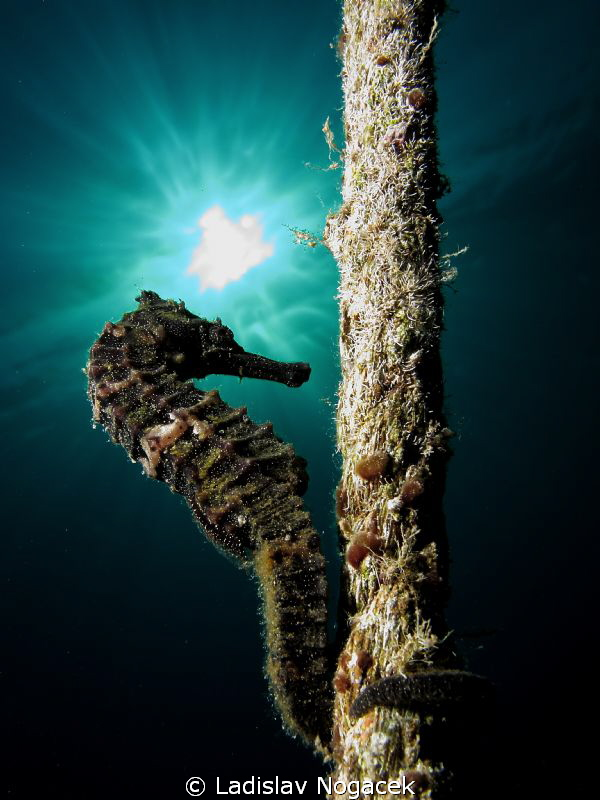 red sea horse by Ladislav Nogacek 