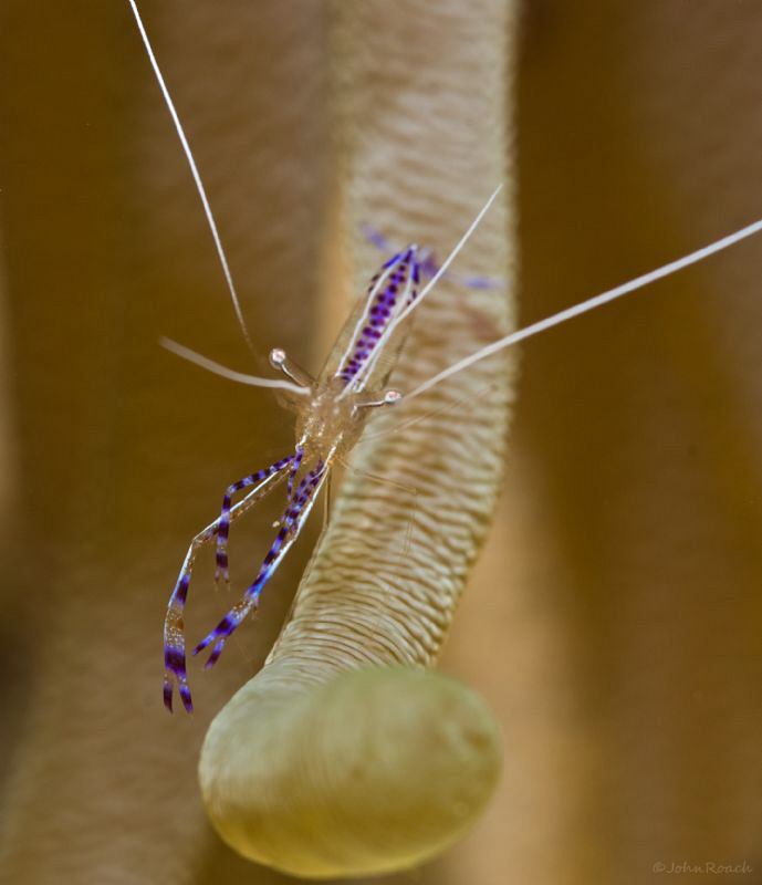 Welcome to my world. Pederson Cleaner Shrimp by John Roach