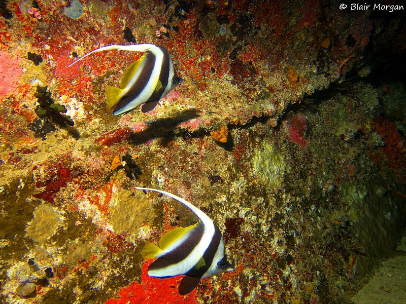 Bannerfish on the wreck of the Ika 2, Carpet Cove, Beqa L... by Blair Morgan 