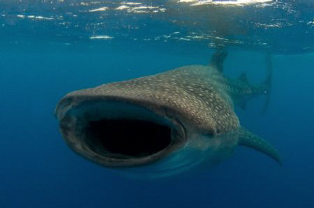 A whale Shark mouth open  and enjoying a feed by Spencer Burrows 