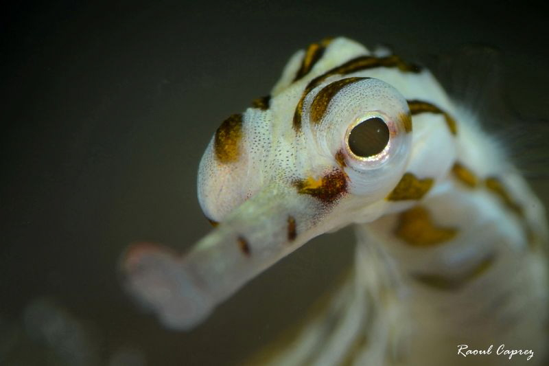 Cute guy (Corythoichthys sp.) by Raoul Caprez